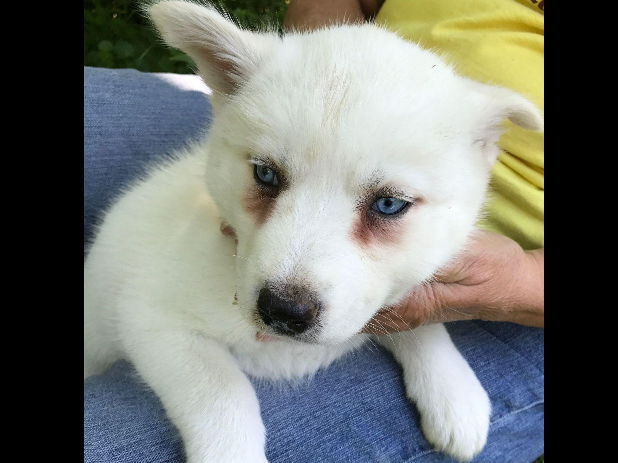 Solid Black Siberian Husky With Blue Eyes Jans Snowdogs -...