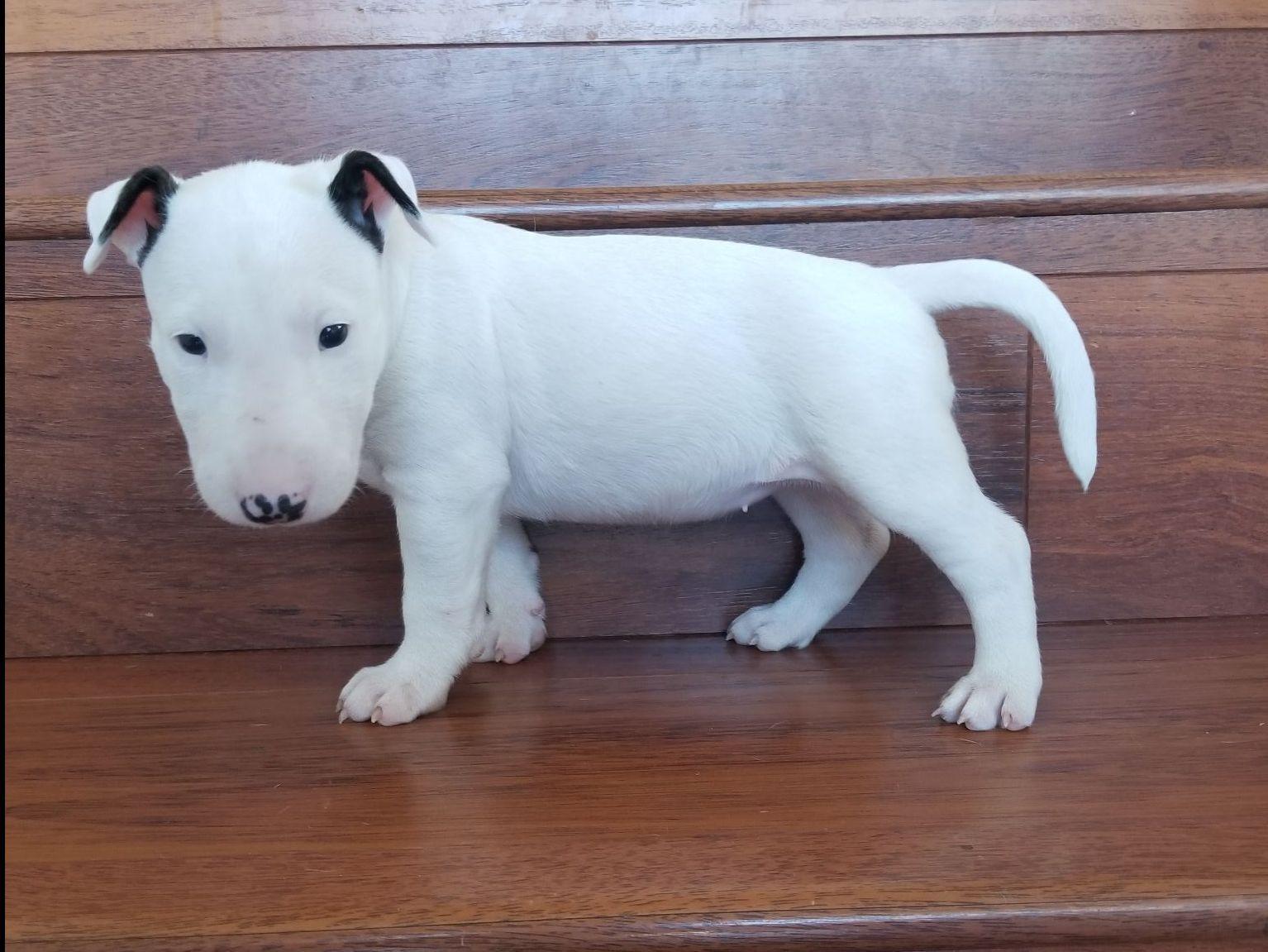 beach bullies bull terrier puppies for sale