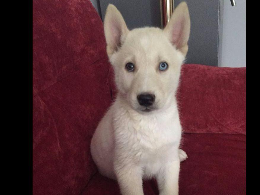 Siberian Husky For Sale by MTK Siberian Songs - American ...