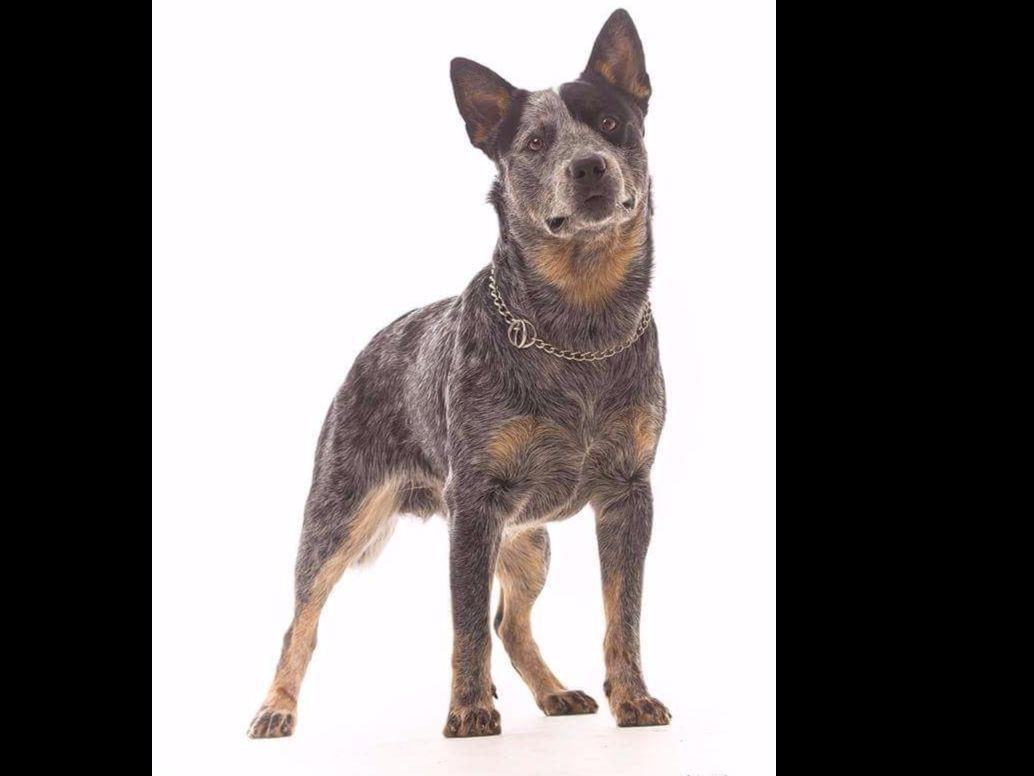 Australian Cattle Dog Puppies For Sale In Ga