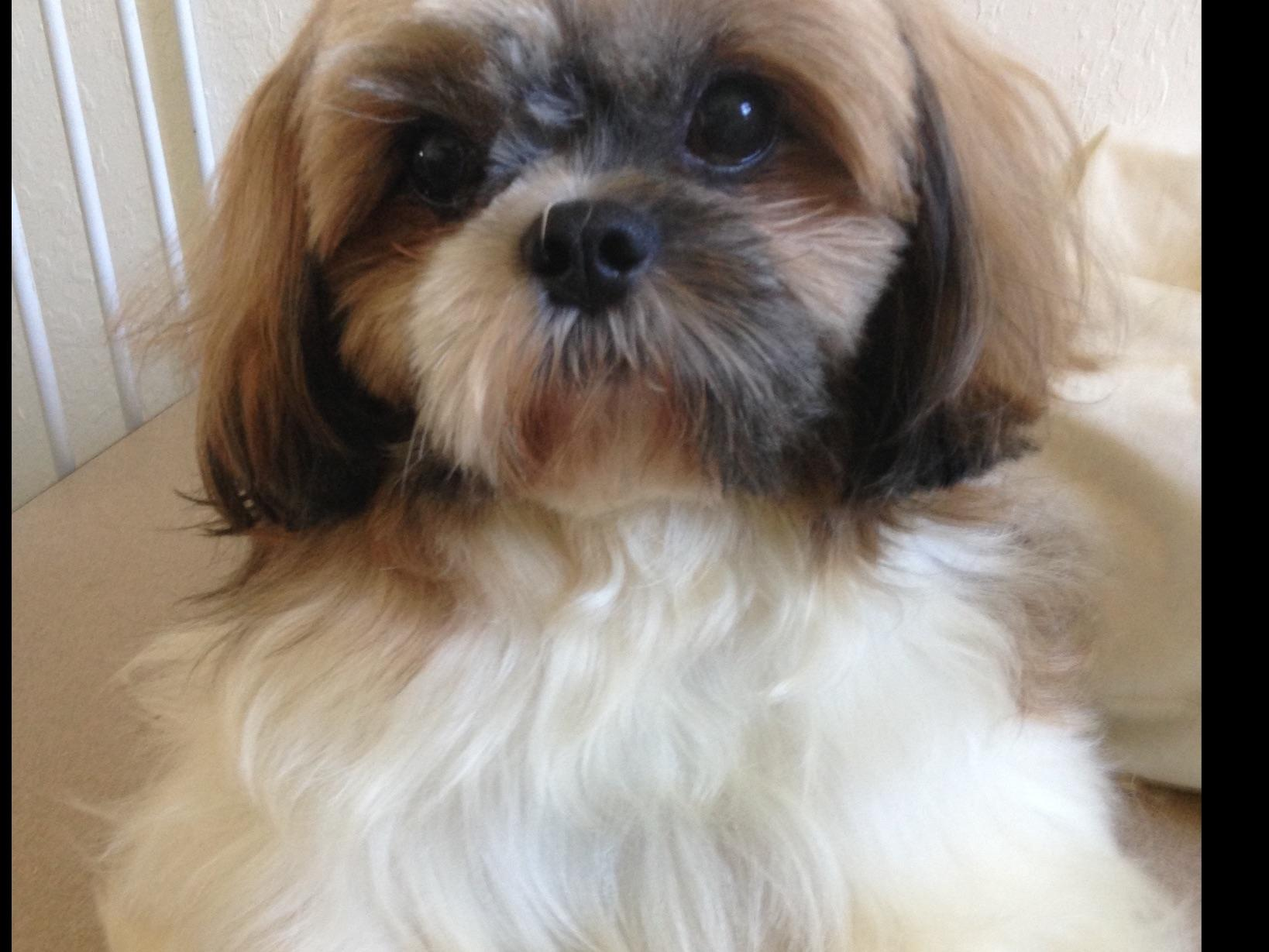 Shih Tzu Puppies - Dog Breeders - Orlando, FL