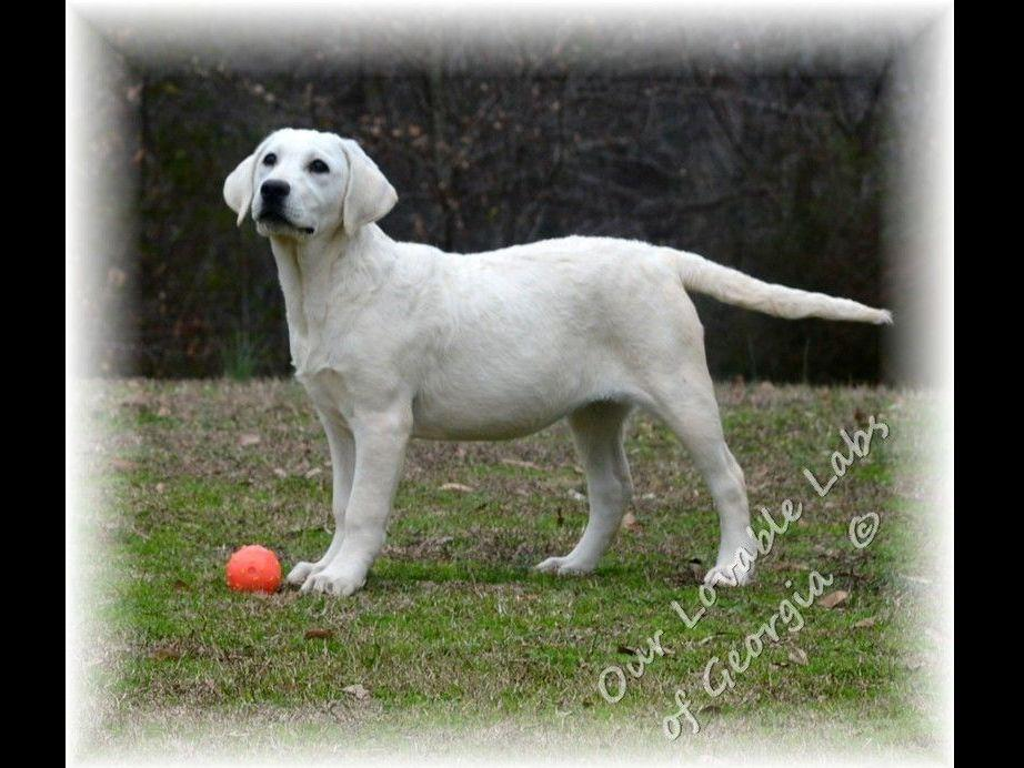 Therpy Dogs For Sale In Ga
