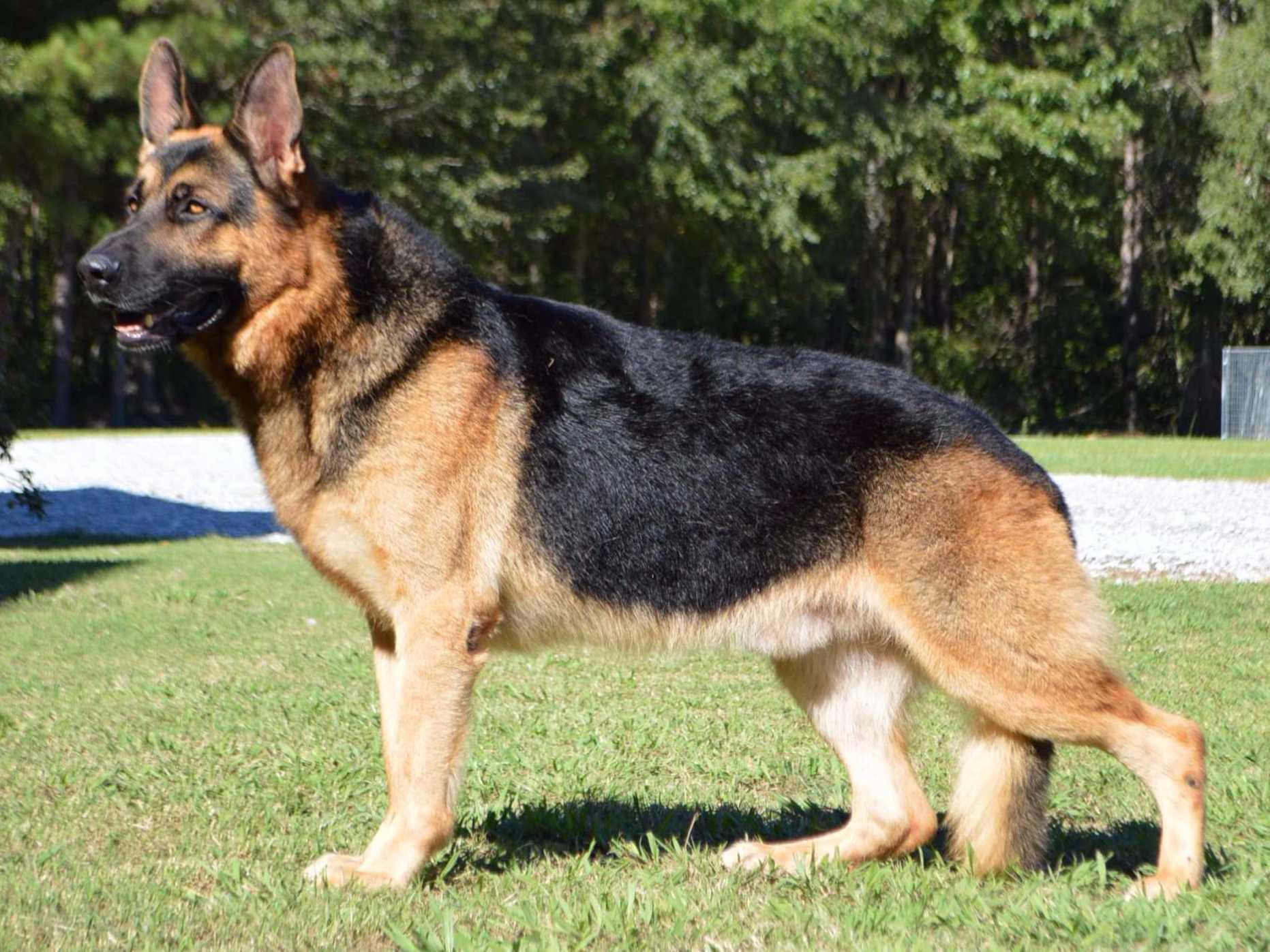 German Shepherd Breeders?