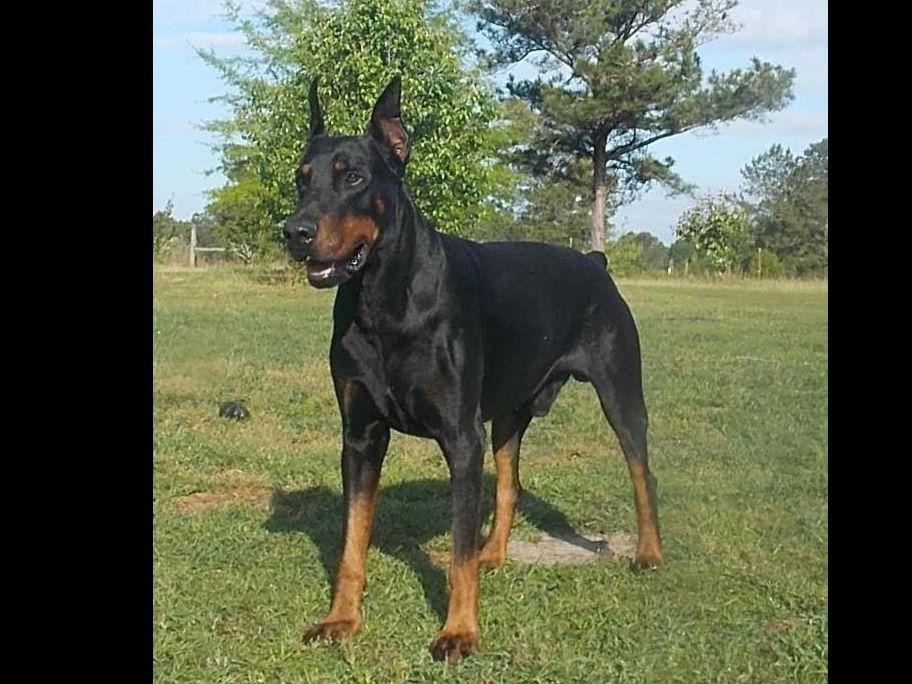 Quality European Dobermans - Doberman Pinscher Puppies For ...