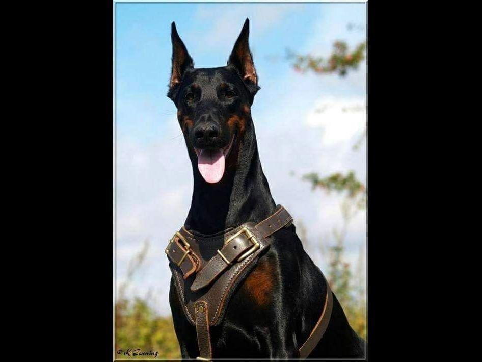 Doberman Pinscher Adult Dogs for Sale - K9Studcom