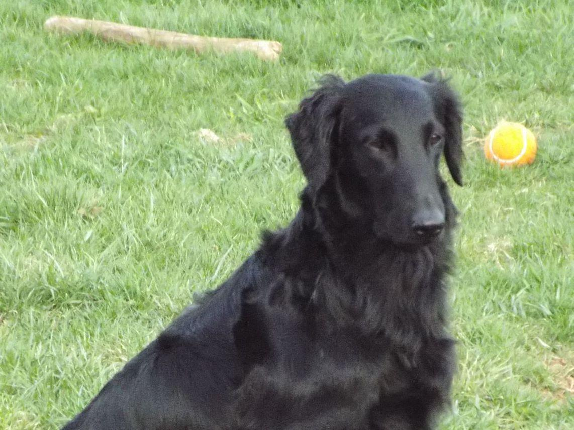 Light-Foot Flat-Coated Retriever - Puppies For Sale