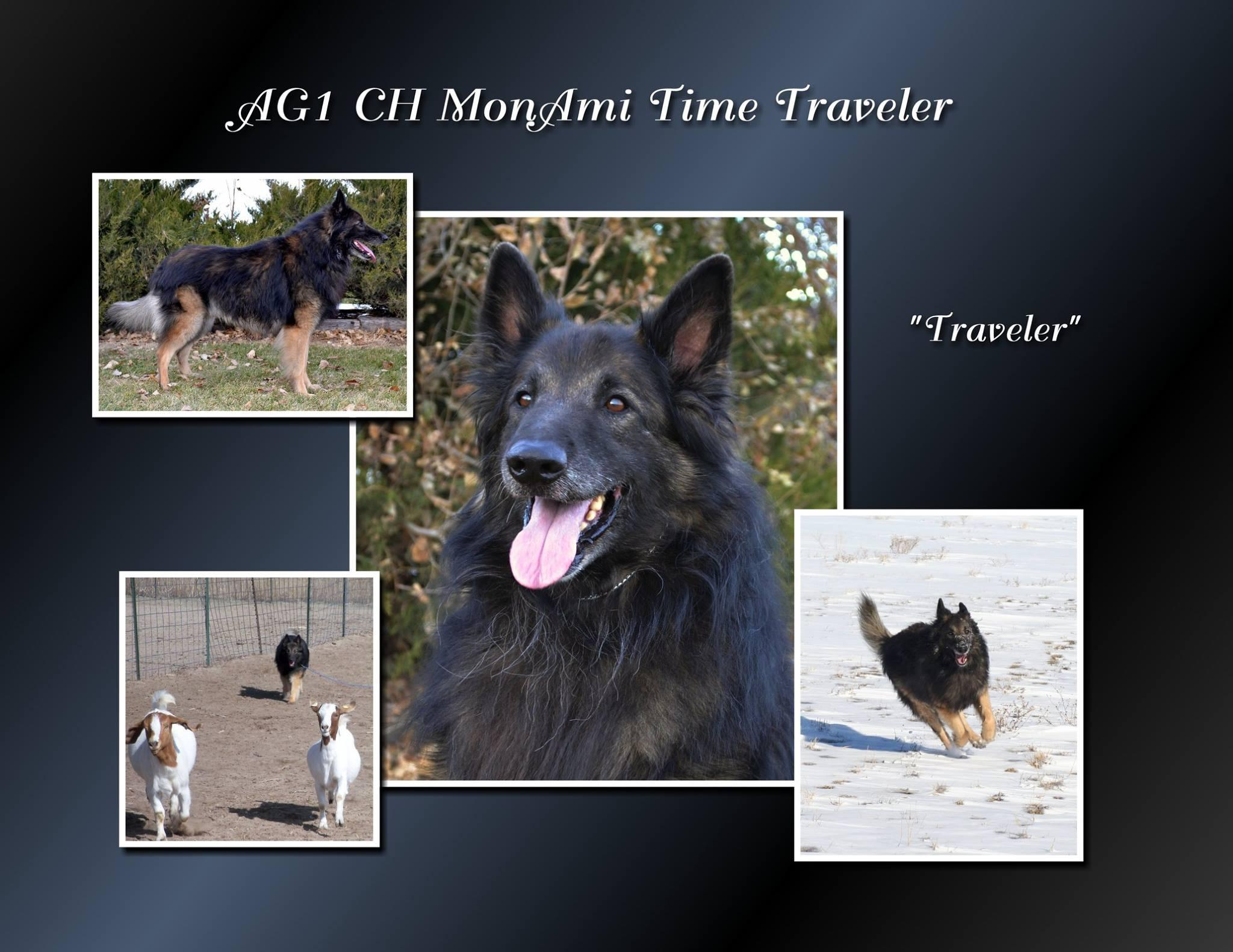 Belgian Tervuren puppies