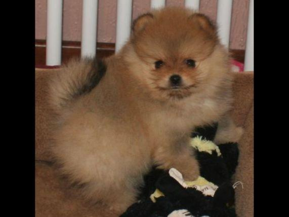 Pomeranians puppies