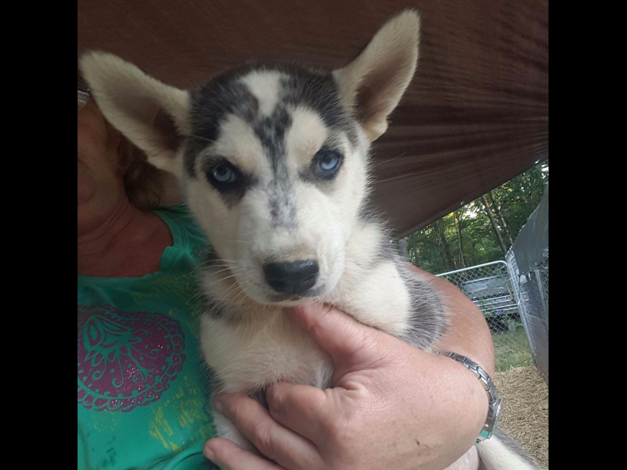 Siberian Husky For Sale by Ronie's- Siberian Huskies and ...