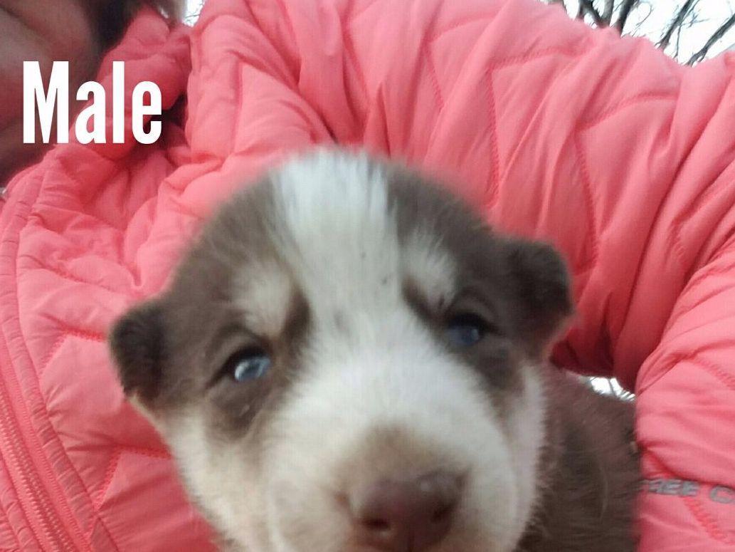 Ronie's- Siberian Huskies And Dachshunds Pups - Siberian ...
