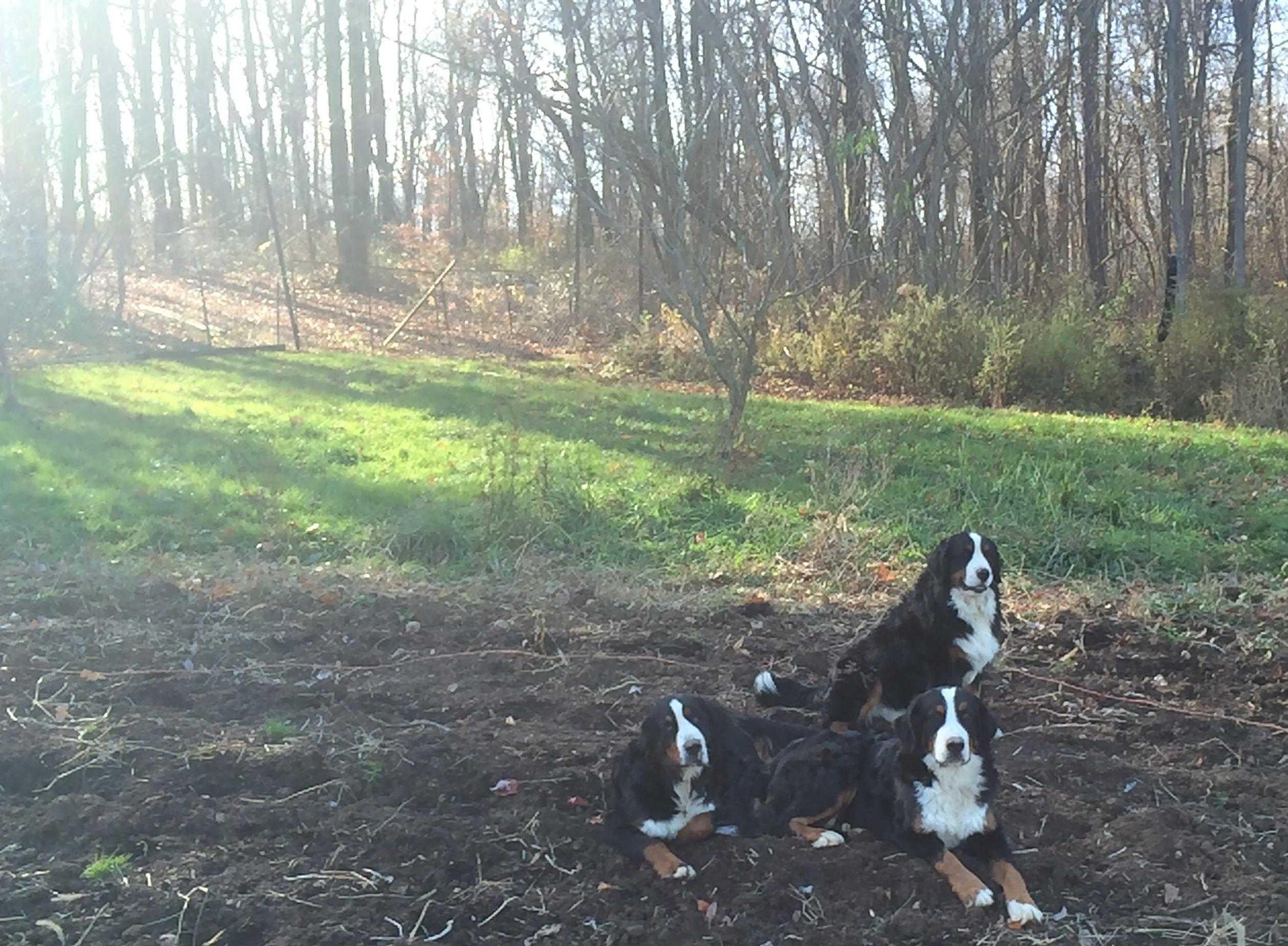 Bernese Mountain Dog Rescue In Ohio