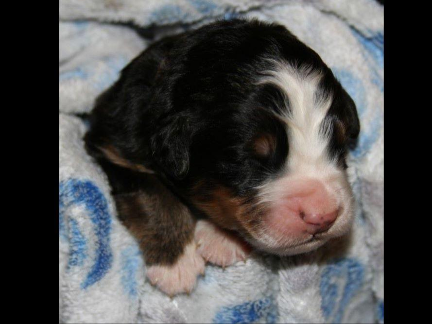Bernese Mountain Dogs For Sale In Grand Rapids