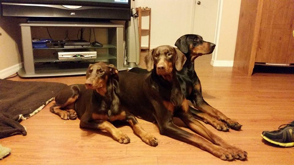 Doberman Pinschers puppies