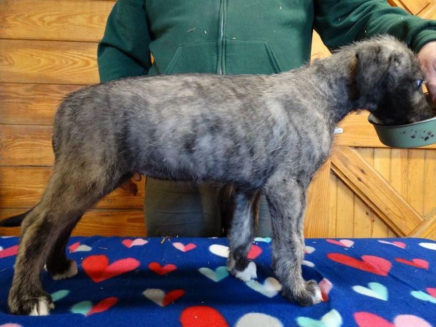Irish Wolfhound For Sa...