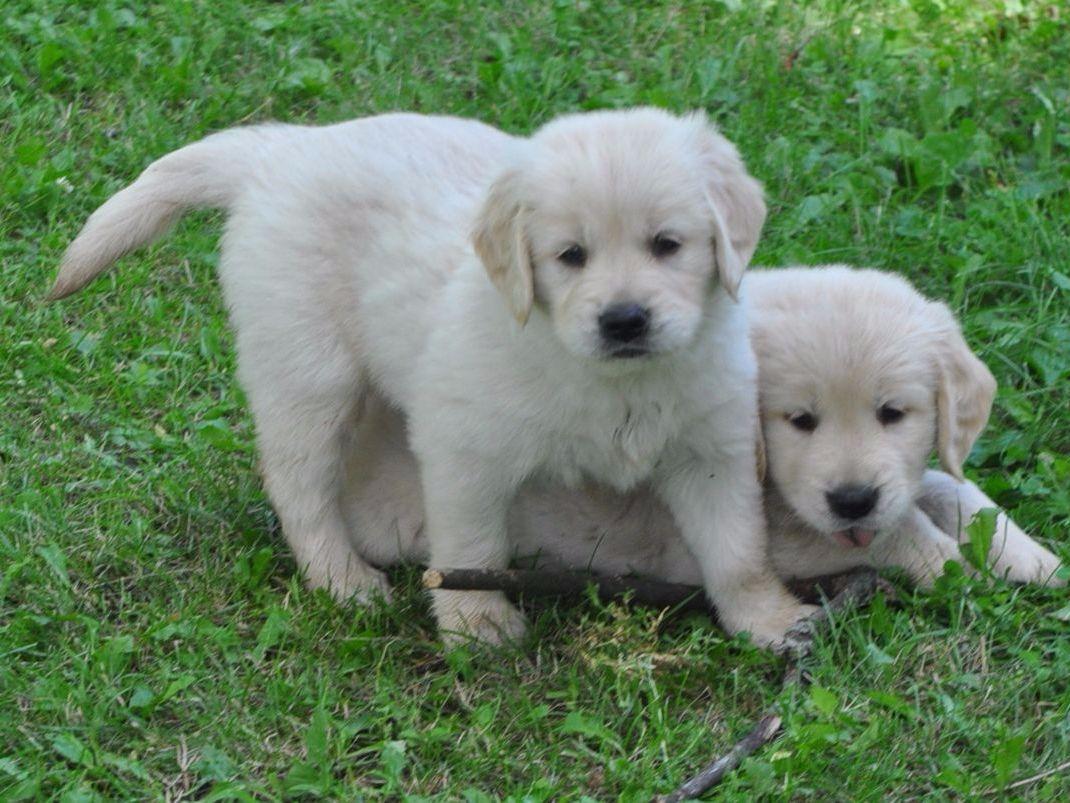 J&B's Golden Retrievers - Golden Retriever Puppies For Sale