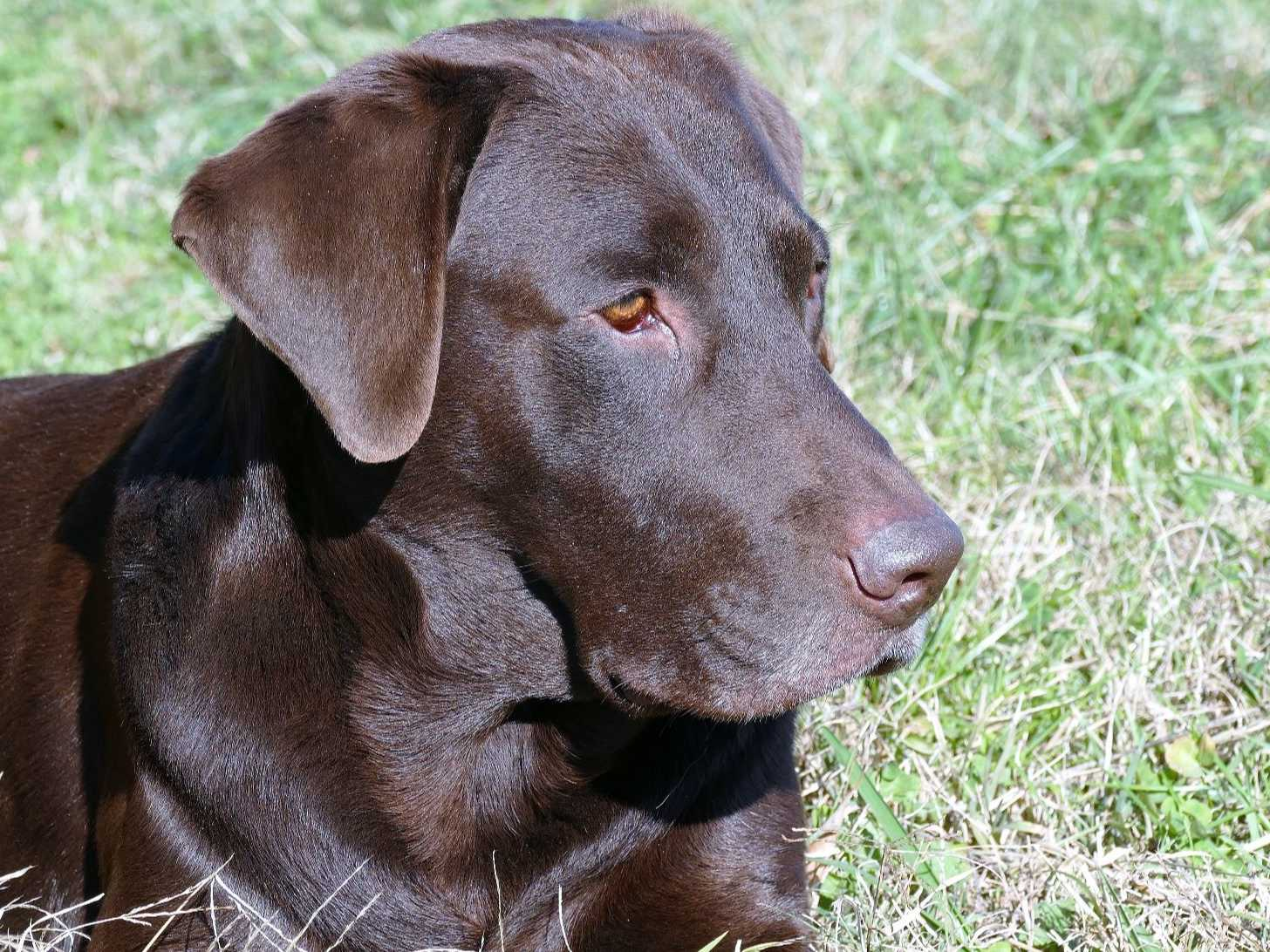 Hawk Hill Farm Chocolate Labs - Puppies For Sale