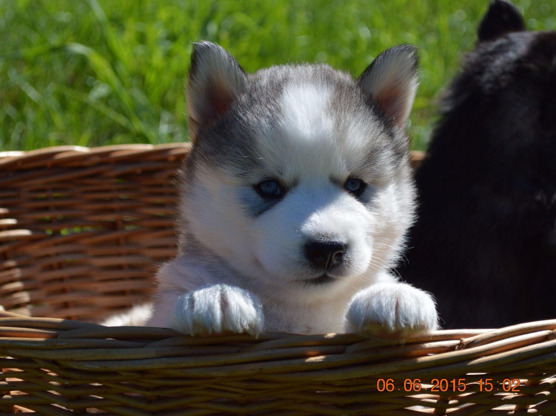Husky puppies for adoption in california - View All 62 Images