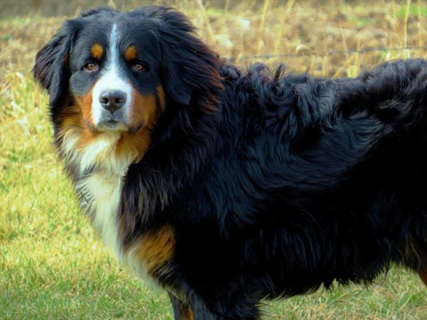 Bernese Mountain Dogs puppies