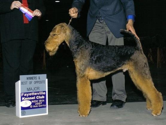 Airedale Terriers puppies