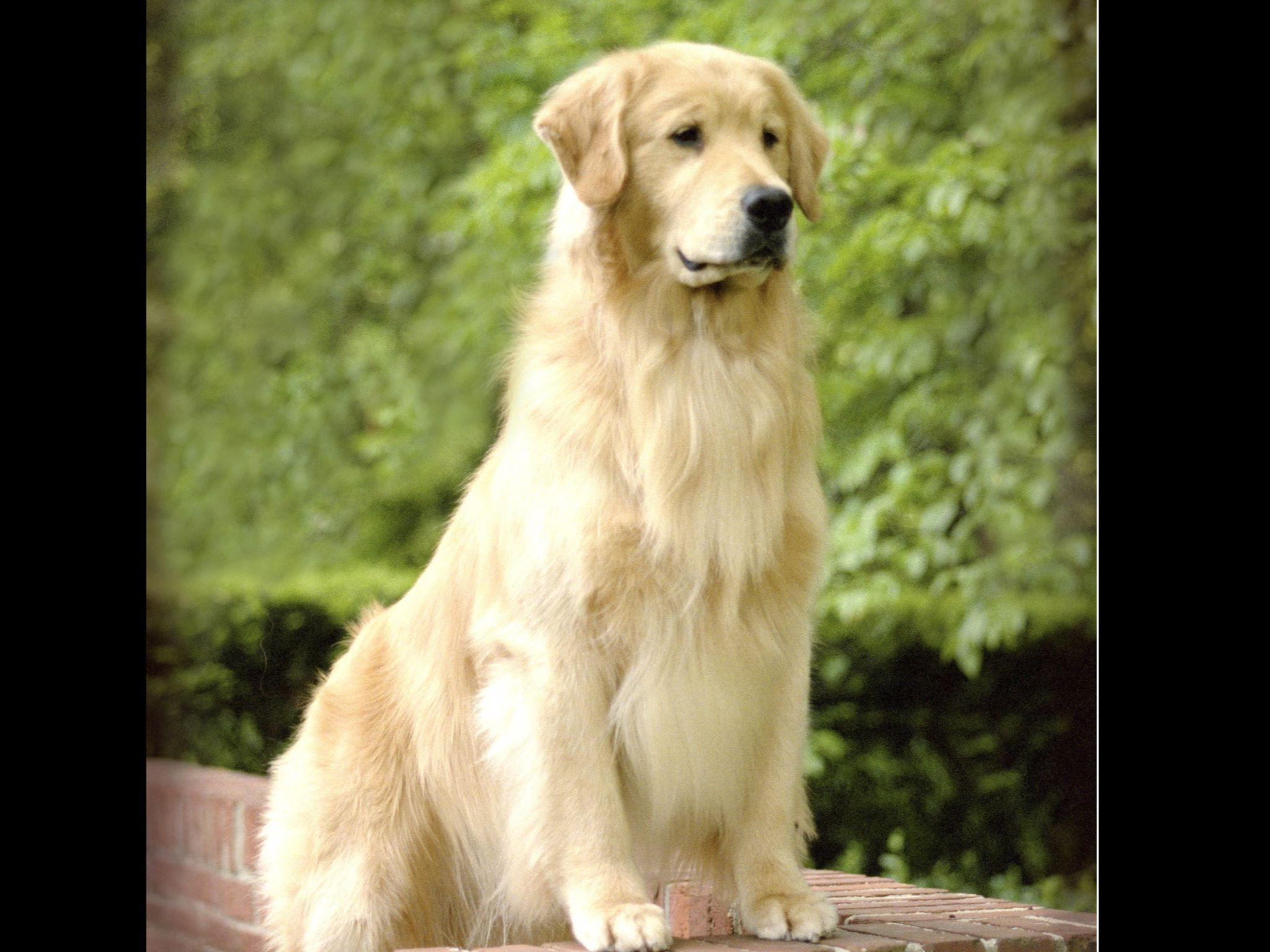 Golden Retriever The Best Dog Breed