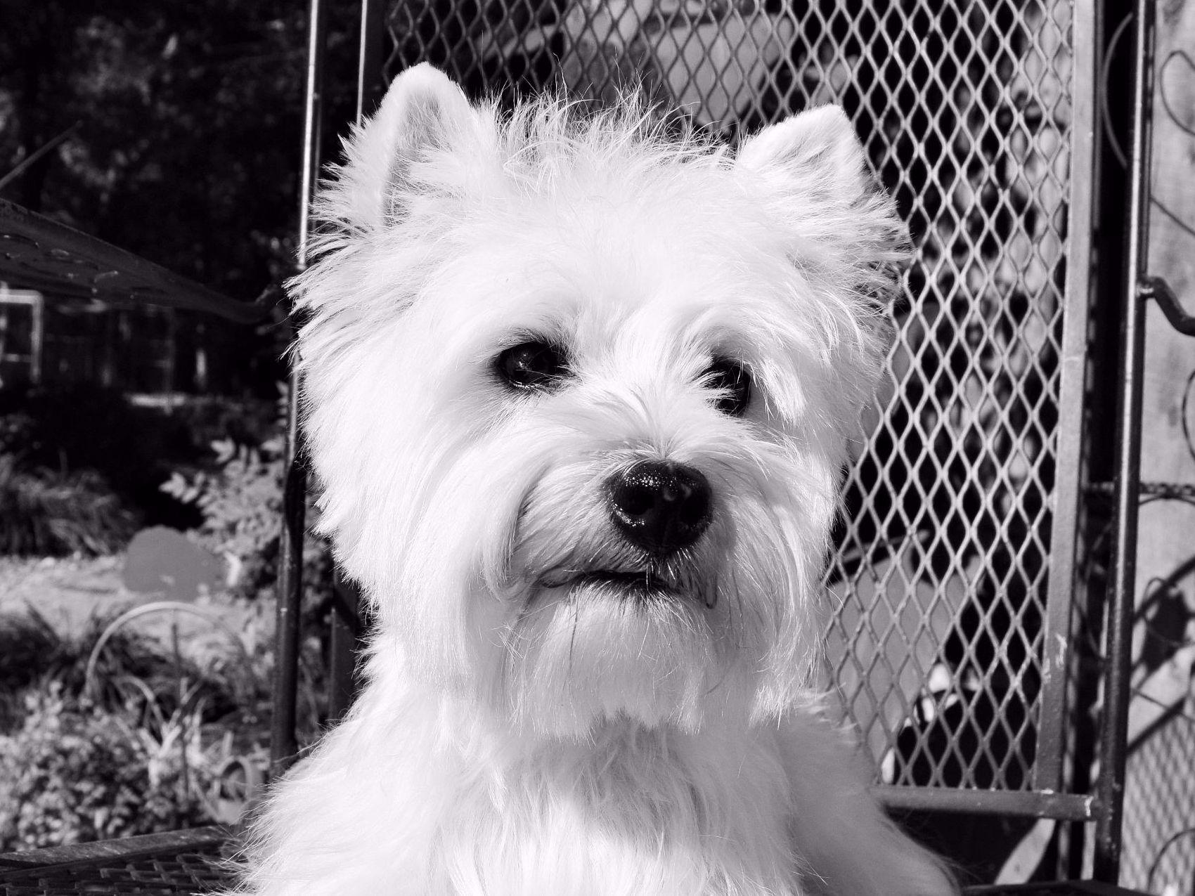 Strawberry River Westies & Norwich - West Highland White ...