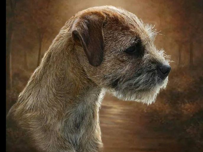 Border Terriers puppies