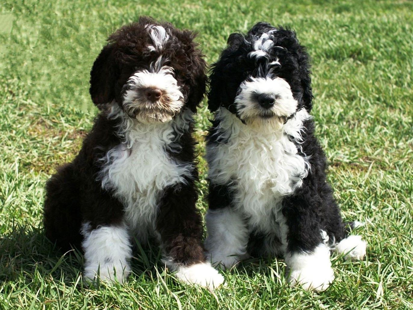 Success Portuguese Water Dogs Portuguese Water Dog