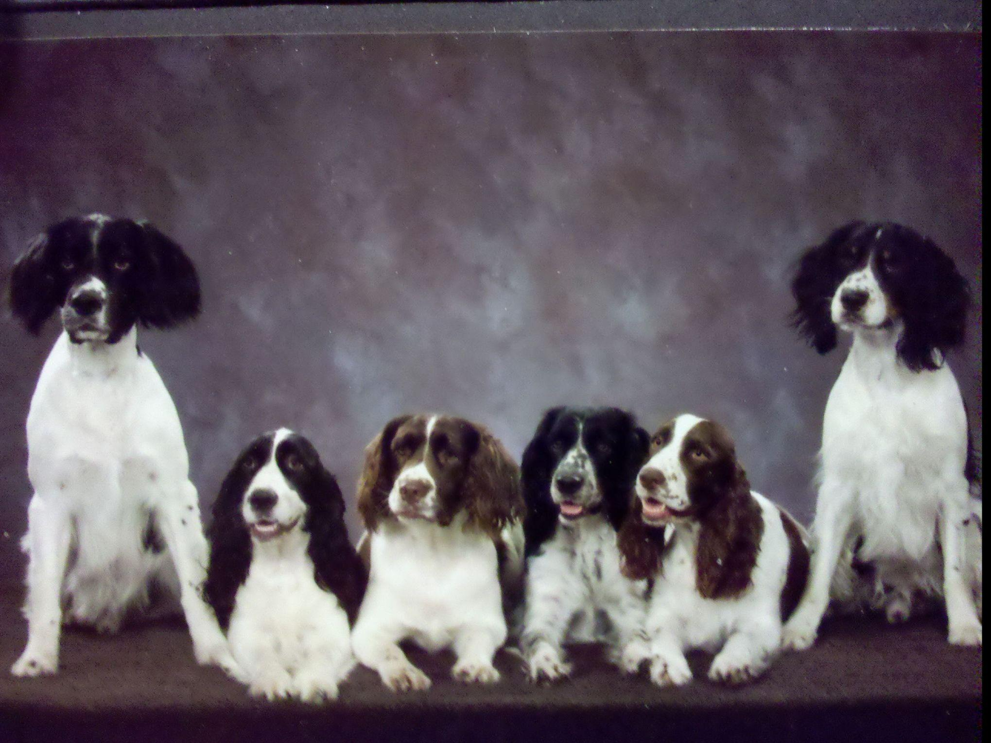 English Springer Spaniels puppies