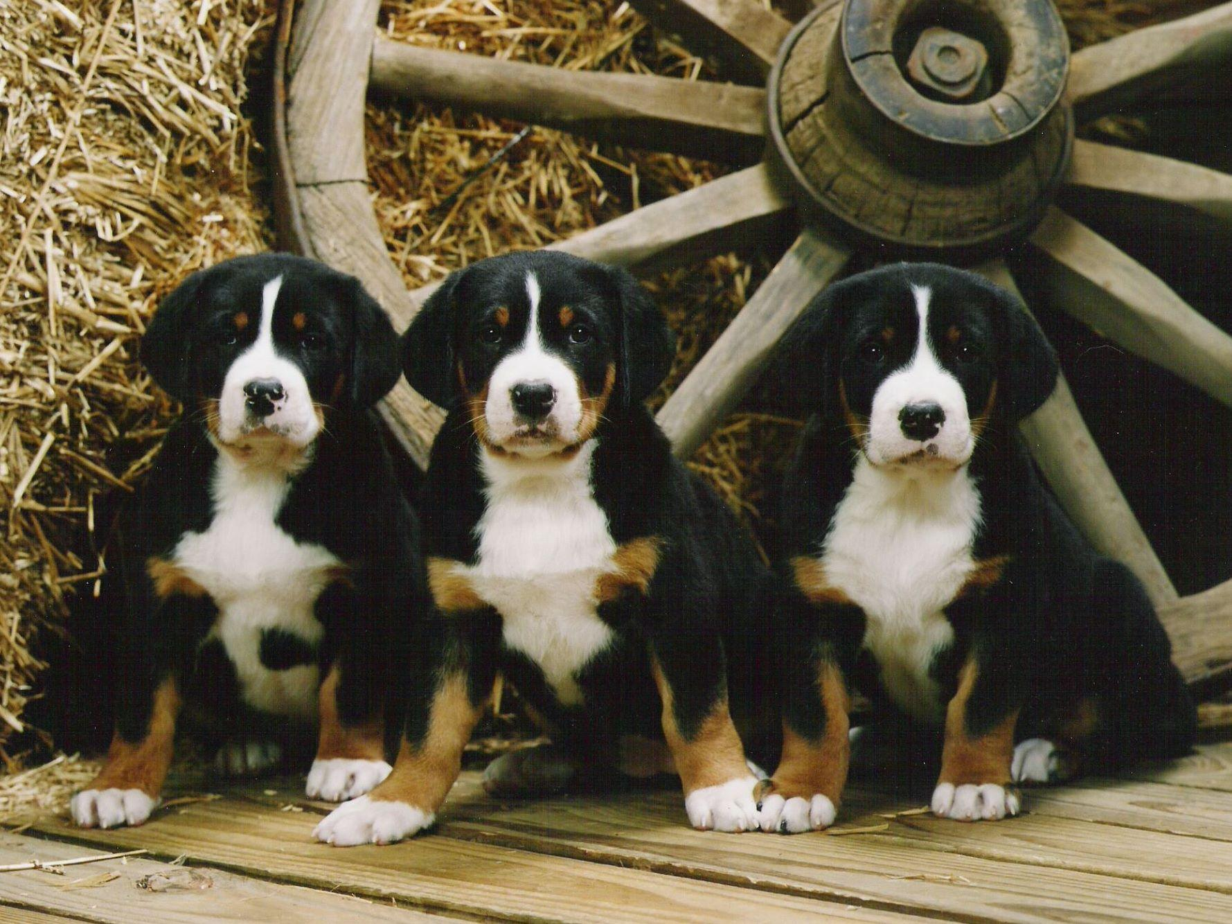 Shadetree Greater Swiss Mountain Dogs - Greater Swiss ...