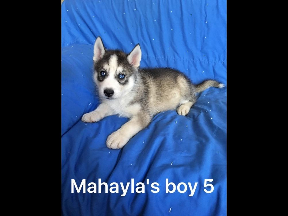 Siberian husky puppies for sale akc marketplace