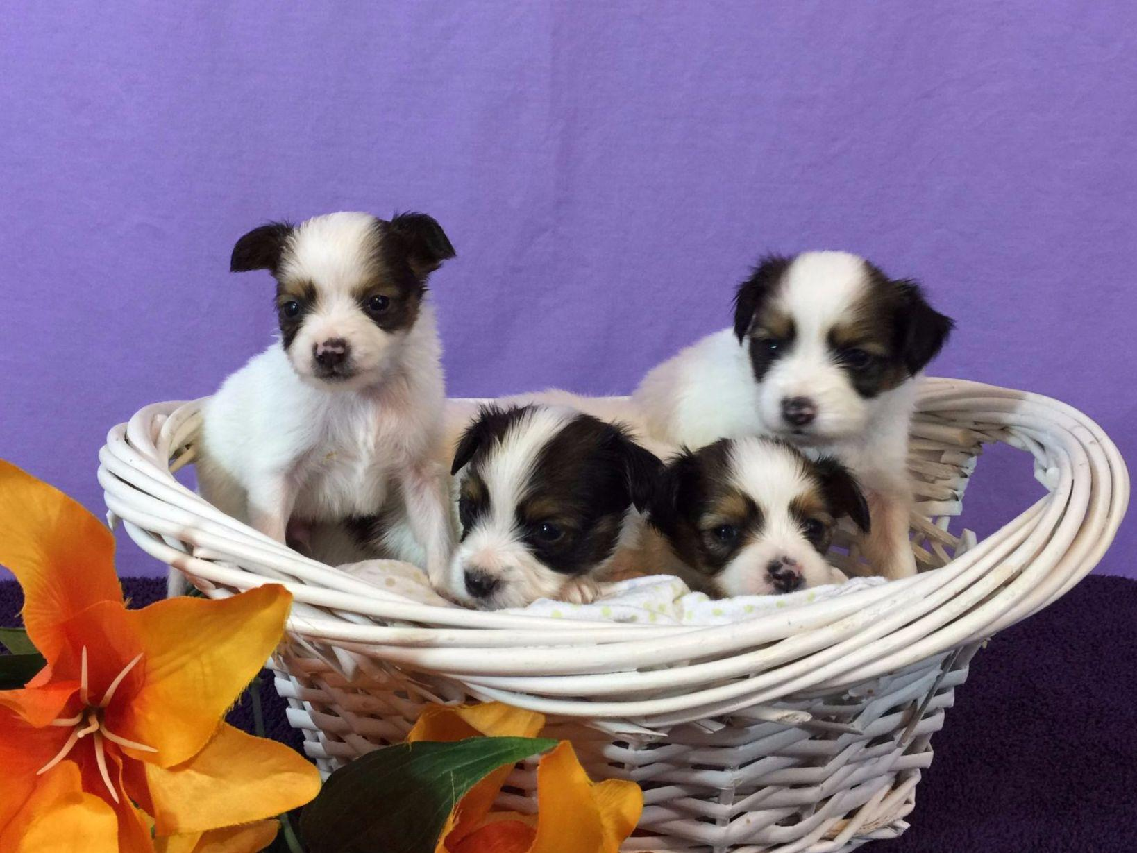 Papillons puppies