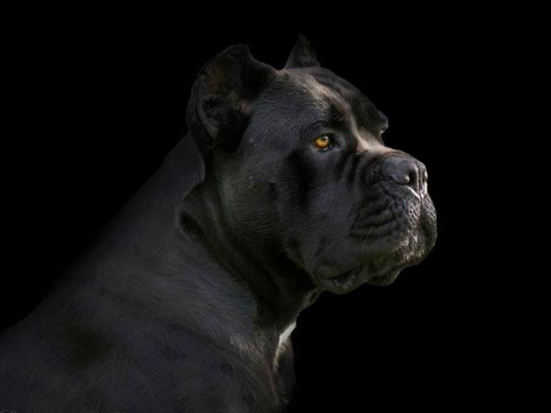Ivy League Kennel Cane Corso Breeder In Maryland Cane Corso Puppies For Sale