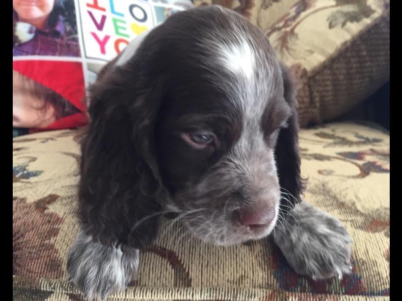 English Springer Spaniel Puppies For Sale Near Akron New York Akc Marketplace