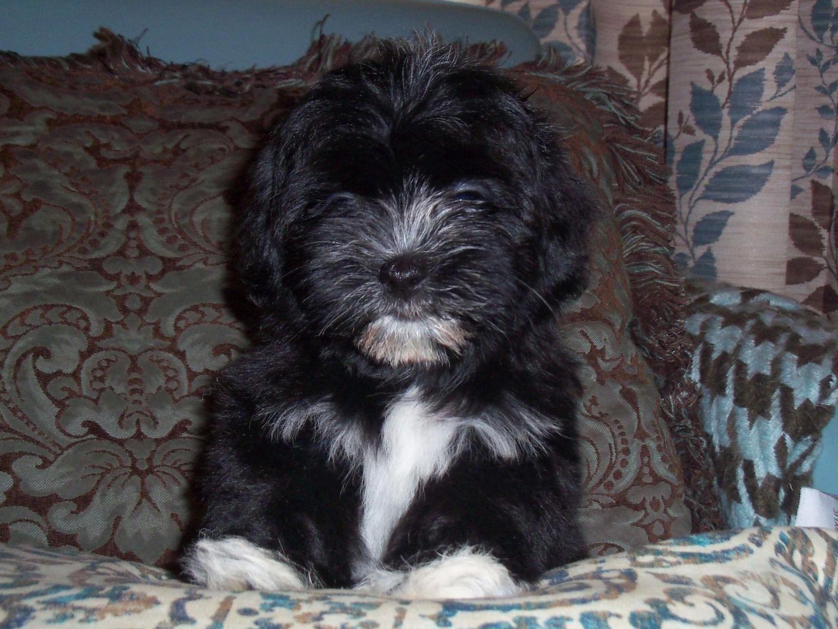 havanese for sale by yuppy puppy havanese