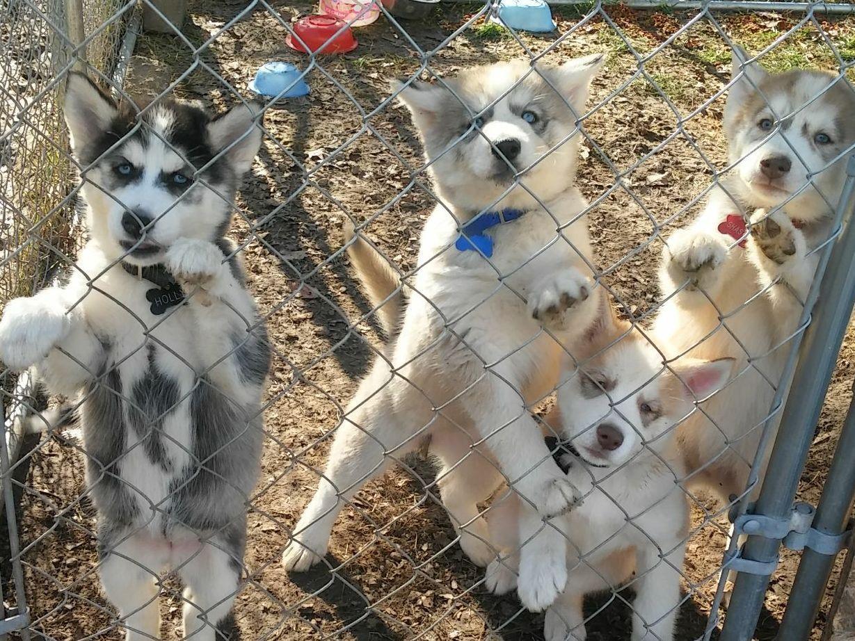 siberian huskies for dummies pdf