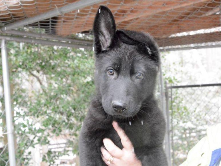 German Shepherd Dogs puppies