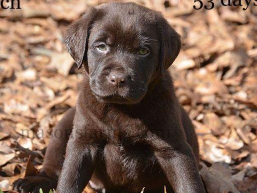 Labrador Retrievers puppies