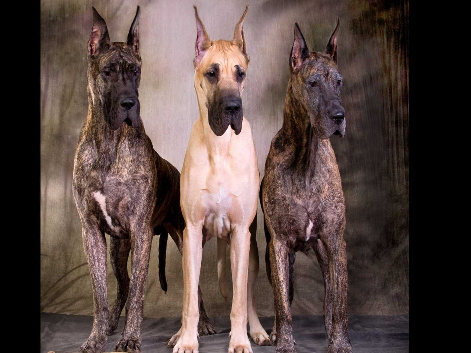 Great Danes puppies