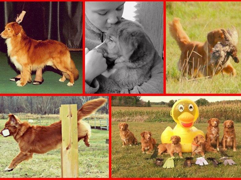 Nova Scotia Duck Tolling Retrievers puppies