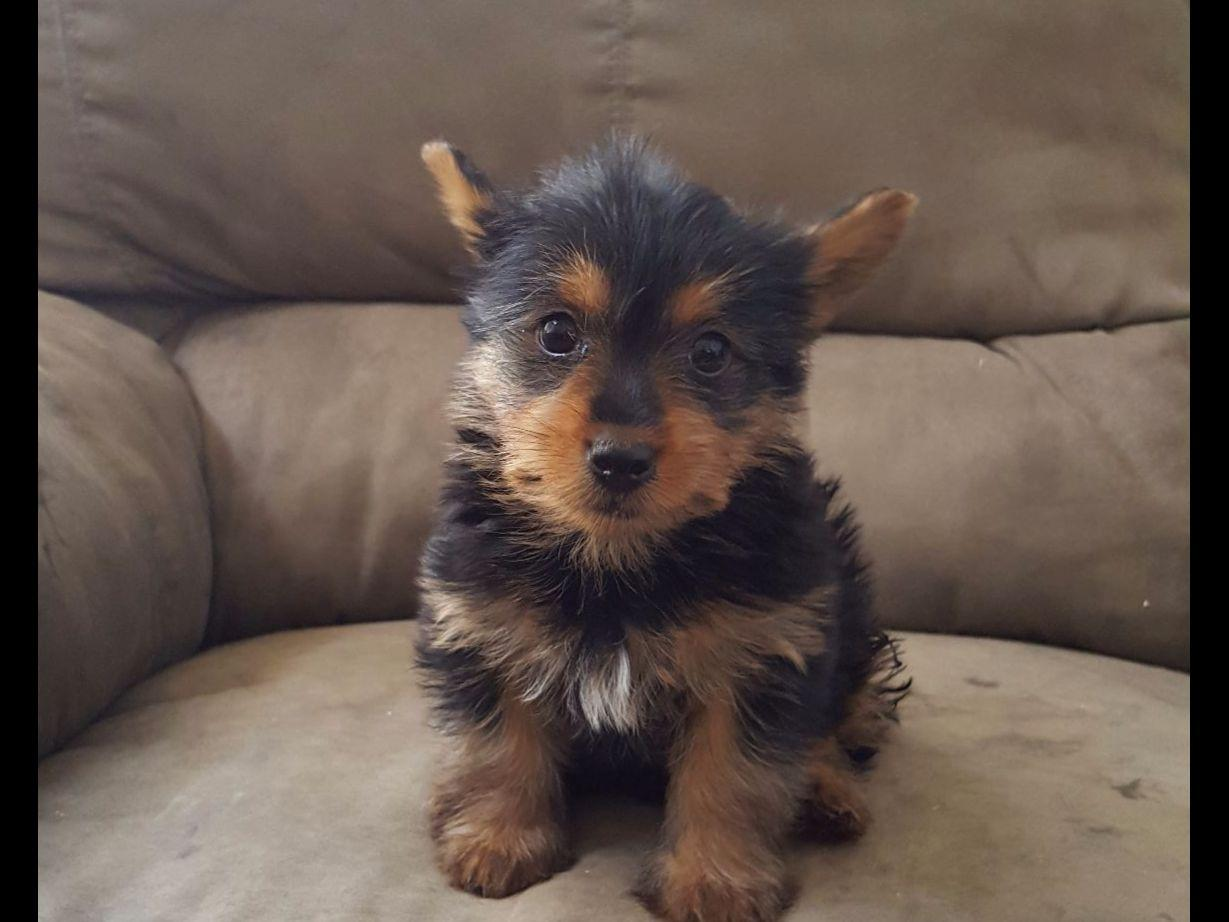 Silky Terrier For Sale By Silky Terriers Lax American