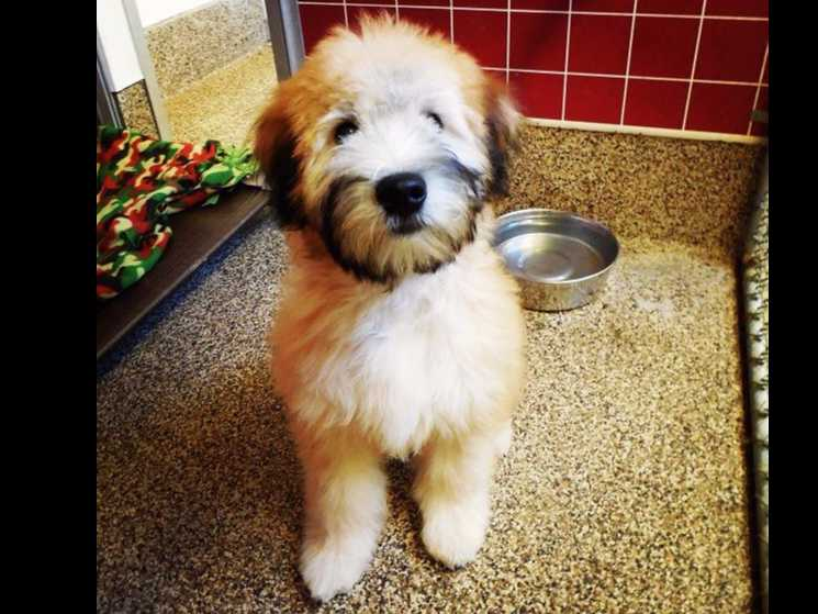 Soft Coated Wheaten Terriers puppies