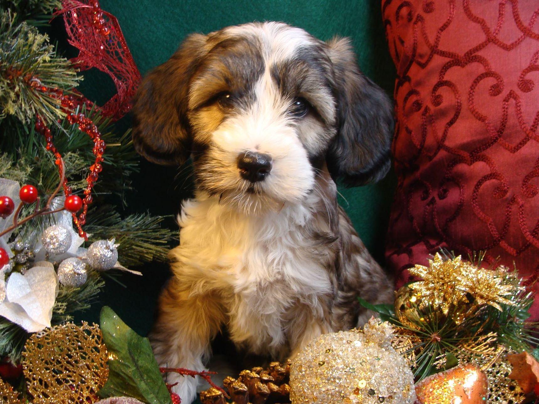 Tibetan Terrier For Sale By Lori Toth American Kennel Club