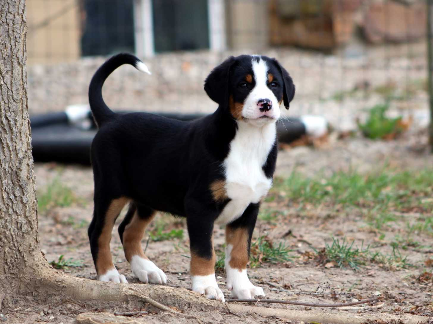 Swiss Mountain Dog Puppies