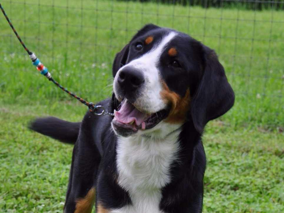 Seneca Greater Swiss Mountain Dogs - Greater Swiss ...