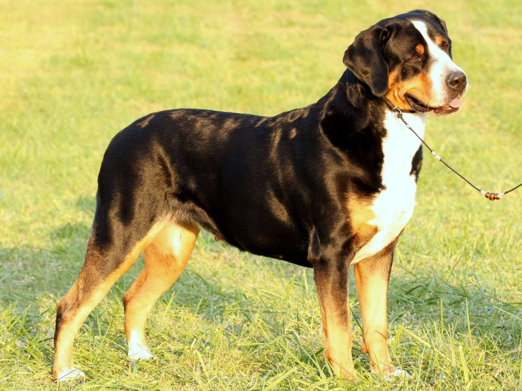 Seneca Greater Swiss Mountain Dogs - Greater Swiss ...