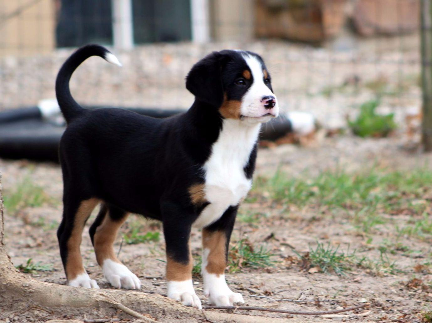 Greater Swiss Mountain Dog For Sale by Seneca Greater ...