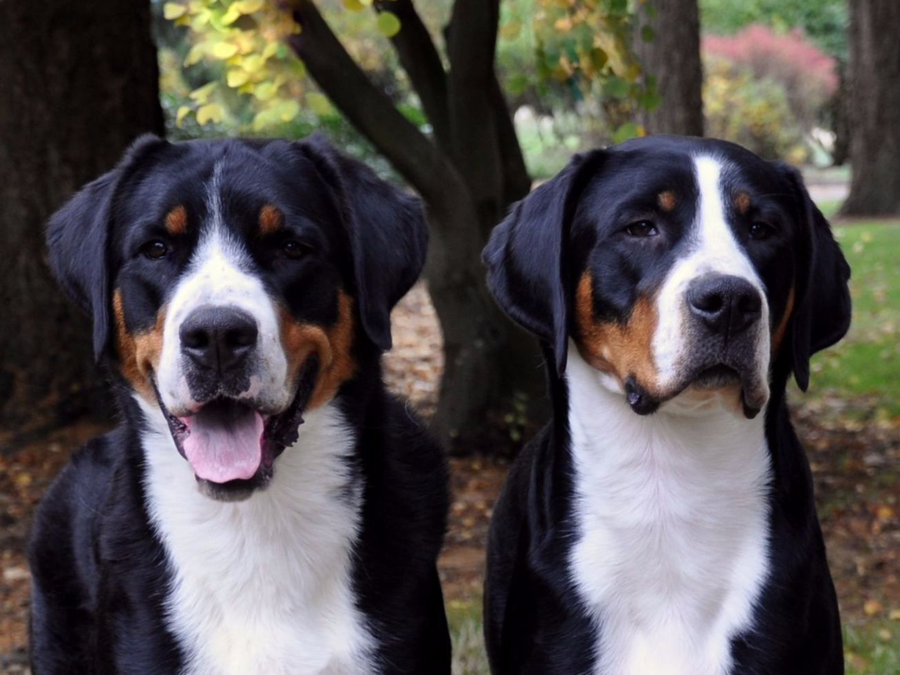 Trout Creek Greater Swiss Mountain Dogs - Dog Breeders ...