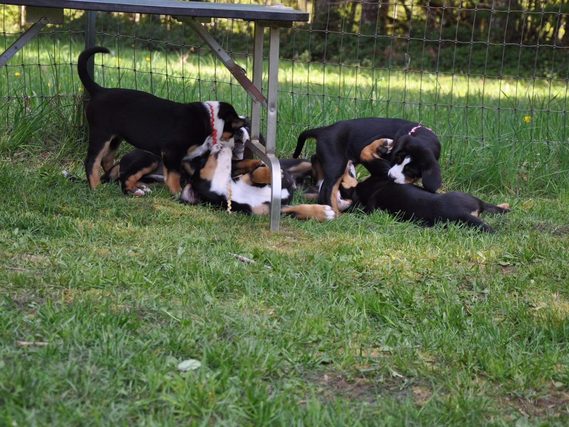 Trout Creek Greater Swiss Mountain Dogs - Greater Swiss ...