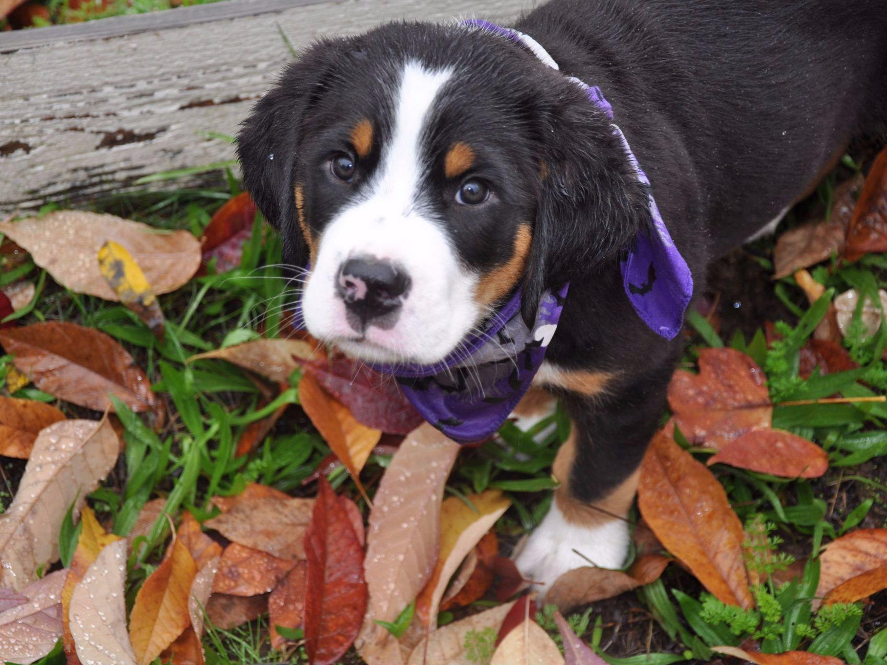 Greater Swiss Mountain Dog For Sale by Trout Creek Greater ...