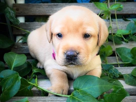 Labrador Retriever Puppies For Sale & Breeders In Texas